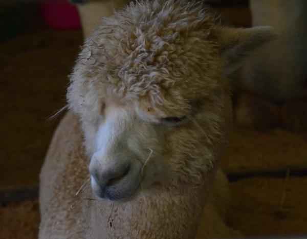 alpaca | thecusserknits.com
